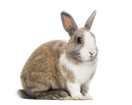 Rabbit , 4 months old, sitting against white background
