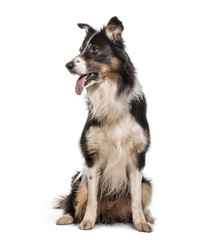 Border Collie dog , 7 years old, sitting against white background