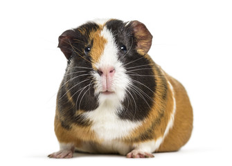 Wall Mural - Guinea Pig , 1 year old, lying against white background