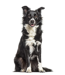 Border Collie dog , 1 year old, sitting against white background
