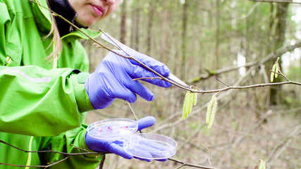 Close up woman's hands in protective gloves. Scientist ecologist in the forest taking samples of the birch seeds with tweezers and putting them in a petri dish.