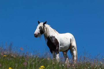 Pferde auf einer Alm Wiese in Südtirol, Dolomiten, Italien.