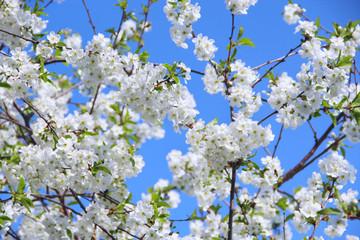 Blossoming cherry tree. White flowers