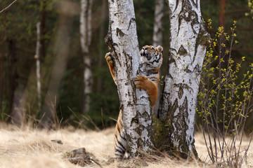 Tiger klettert