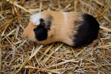 Adult domestic guinea pig