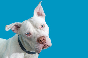 Closeup White Pit Bull Dog Blue Background