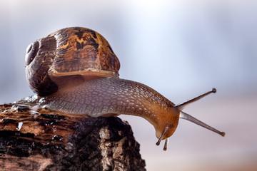 Garden Snail on the edge of a log