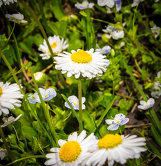 chamomile. small white flowers with a yellow middle grow in a group