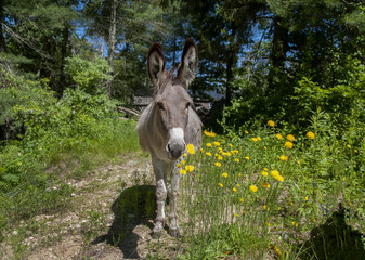 Donkey and Yellow Flowers