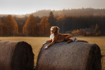 The dog lies on a haystack. Pet on the nature. Nova Scotia Duck Tolling Retriever in nature. Toller. The dog rests