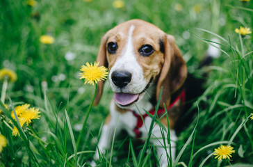 Portrait of beautiful beagle puppy dog lying in the green grass among yellow dandelion flowers. Outdoor