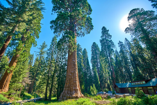 Giant Sequoia Trees In Sequoia National Park California USA in the vicinity of the Museum and Visitors Center