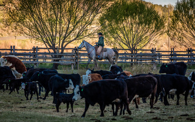 APRIL 22, 2017, RIDGWAY COLORADO: Cowboy herds cattle on Centennial Ranch, Ridgway, Colorado - a cattle ranch owned by Vince Kotny featuring Angus/Hereford Cross breed