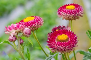 Soft focus straw flower in garden
