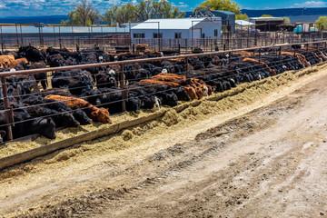 Cattle - Hereford eating hay in cattle feedlot, La Salle, Utah Wall mural