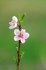 blooming pink peach flower on the branch in spring