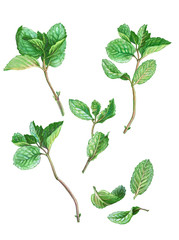 Set of Mint Stems, Branches & Leaves Pencil Drawing Isolated on White