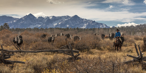 Cowboys on Cattle Drive Gather Angus/Hereford cross cows and calves, San Juan Mountains, Colorado