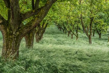 Nussbaumplantage im Mai