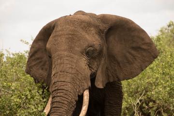 The Large Elephants of Tarangire National Park : The Elephants' Paradise