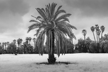 Palm tree on a cloudy day (Black and white horizontal)