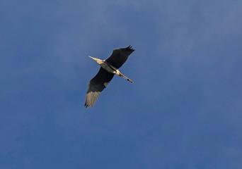 Grey heron (Ardea cinerea).