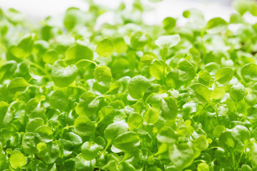 Micro greens of arugula growing for organic vegan salad. Ecologically clean microgreen. Closeup, selective focus