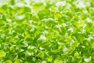Fresh micro greens. Ecologically clean microgreen. Closeup, selective focus
