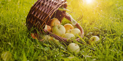 the basket of apples on the grass under the Apple tree. Free Space, background