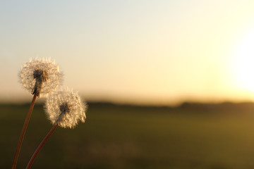 together we will meet the sunset/ pair of fluffy dandelions against a background of a blurred landscape