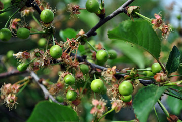 Green unripe cherry berries on branch with green leaves, close up detail, soft blurry background