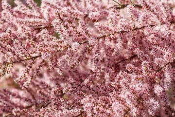 Detalle de ramas con flores de Tamarix ramosissima. Tamarindo rosa, Taray catina.