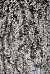 Gray poplar tree trunk with bark and green moss, vertical background texture