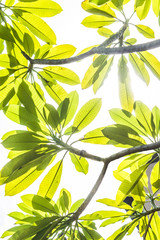 Frangipani on the plumeria tree,frangipani tropical flowers.White frangipani on the frangipani tree with sunset.