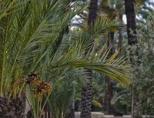 Palmiers à Elche, Espagne