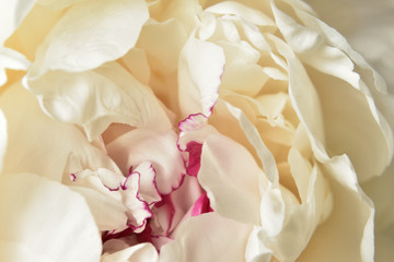 Abstract macro white peony flower background