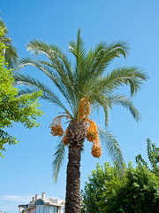 Date Palm with exotic fruits