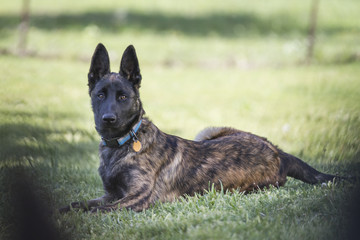 Dog in grass on alert, Belgian Malinois or Dutch Shepherd young dog with collar and tag