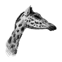 The head of a giraffe sketch black and white vector graphics drawing. African wildlife doodle illustration. Profile portrait of a giraffe, monochrome.