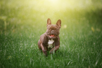 Lovely Cheerful French Bulldog runs along the green grass across the field in the rays of the bright sun. Dog on the background of nature