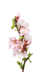Branch of blossoming tree isolated on white