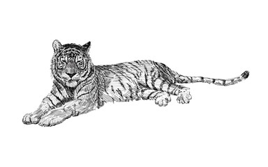 The tiger lies, sketch vector graphics black and white drawing. African wildlife doodle illustration, Portrait of a tiger, monochrome.