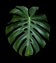 Monstera deliciosa tropical leaf isolated on black background with clipping path