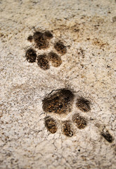 Textural footprints of the cat. Cement footprint. Traces.