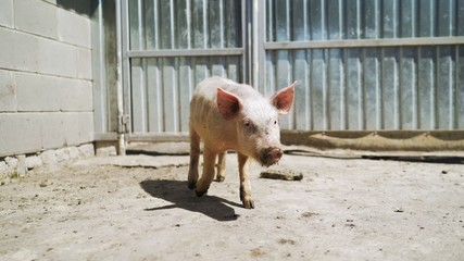 A young dirty pig is standing in the yard. Pig in the yard.