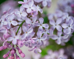 A flower of lilac.