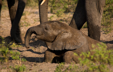 Elephant baby dust bathing