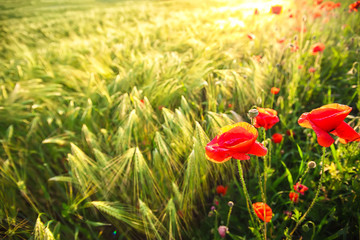 Bright poppies at sunset.