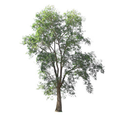 Pterocarpus indicus Willd. Tall tree with dense foliage isolated on white background.