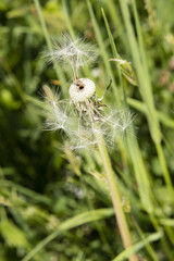 Seeds of dandelion partially blown on a stem.
